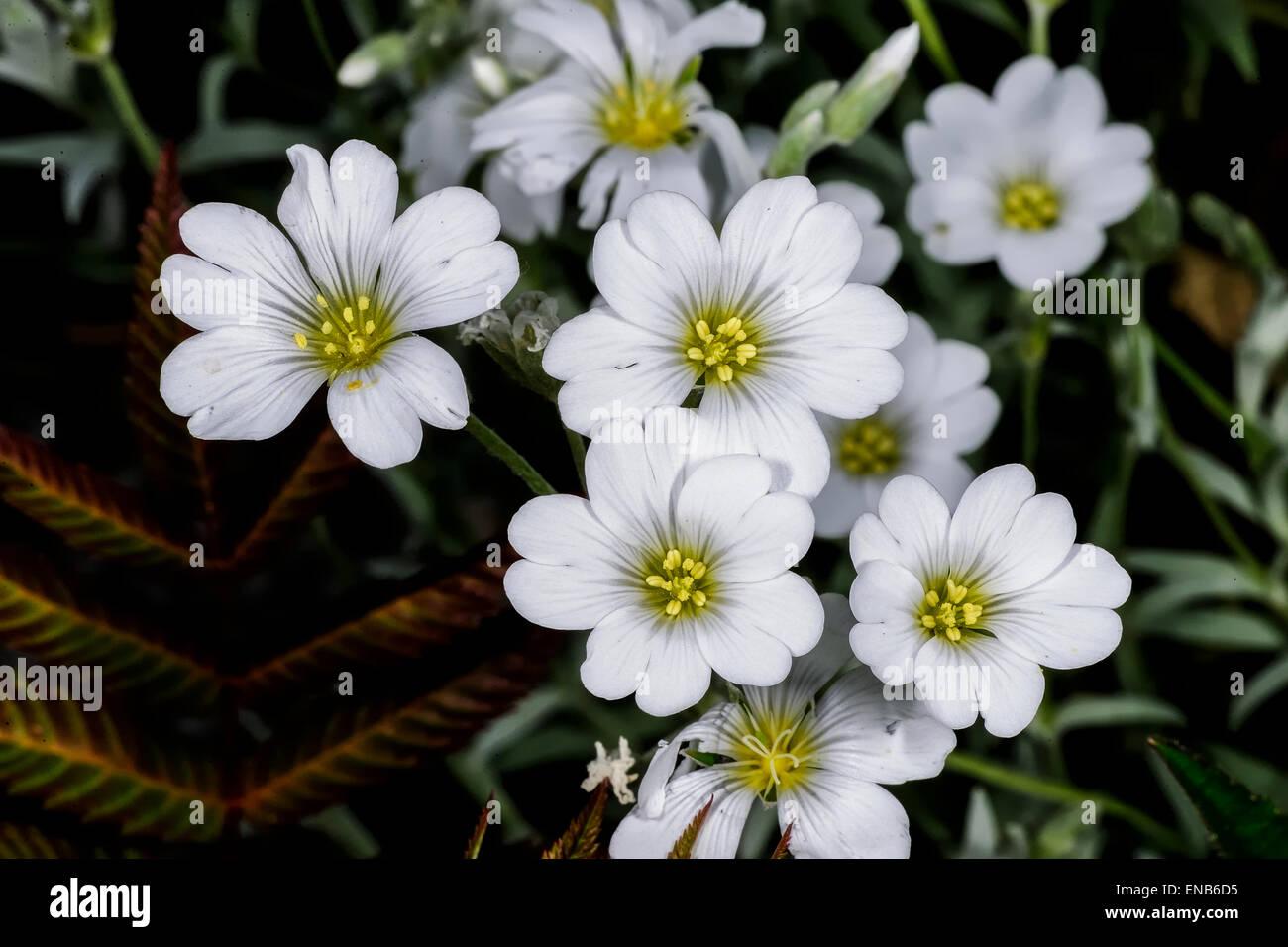 snow-in-summer,  cerastium tomentosum, espoo - Stock Image