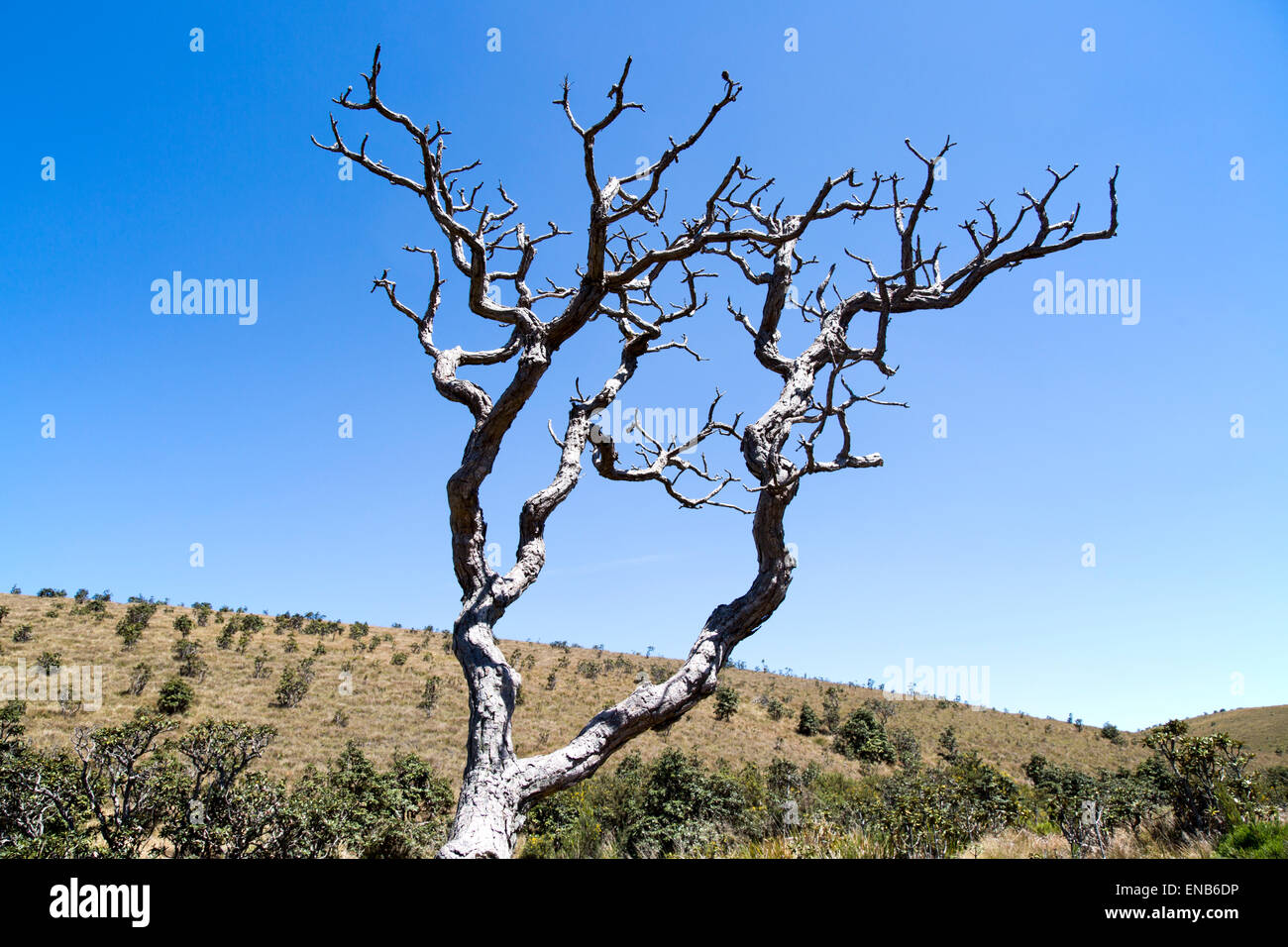 Dramatic image dead Rhododendron arboreum tree branches blue sky, Horton Plains National Park, Central Province, - Stock Image