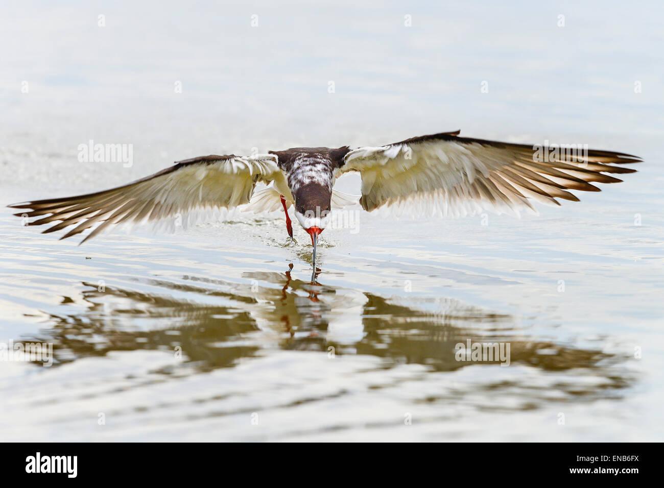 black skimmer, rynchops niger - Stock Image