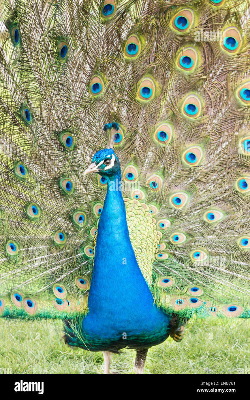 male peacock displays its colorful patterned feathers with pride and self-importance - Stock Image