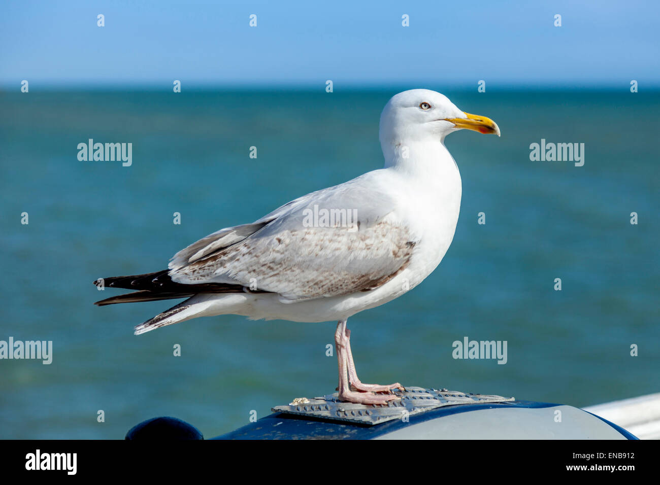 Seagull (Laridae) , Brighton Pier, Brighton, Sussex, UK - Stock Image