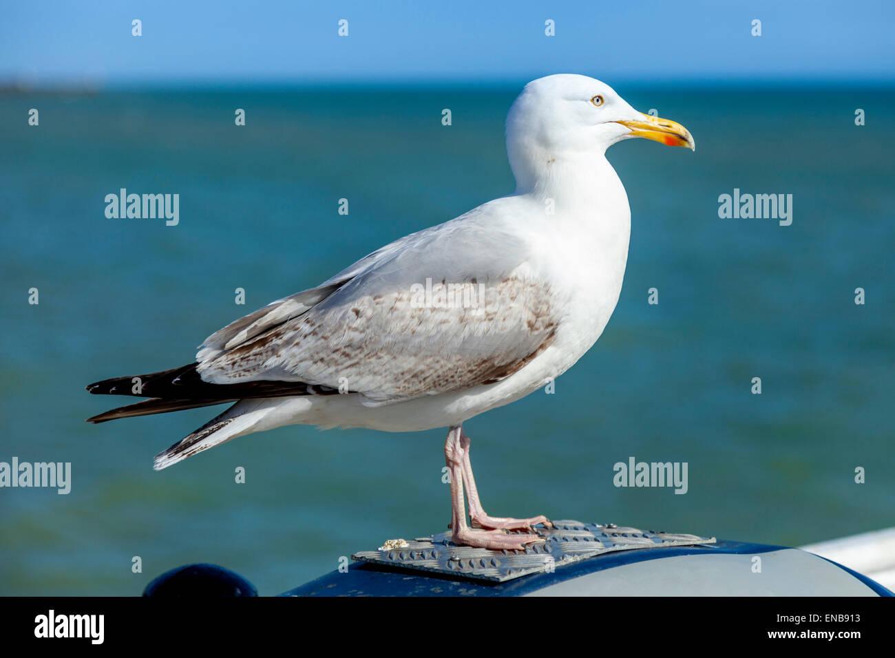 Seagull (Laridae) , Brighton Pier, Brighton, Sussex, UK - Stock Image