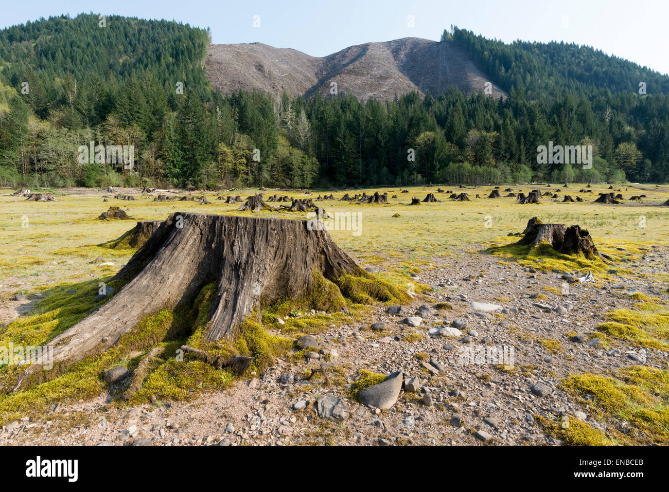 Tree stumps on the receded lake bed of Green Peter Reservoir in Oregon. - Stock Image