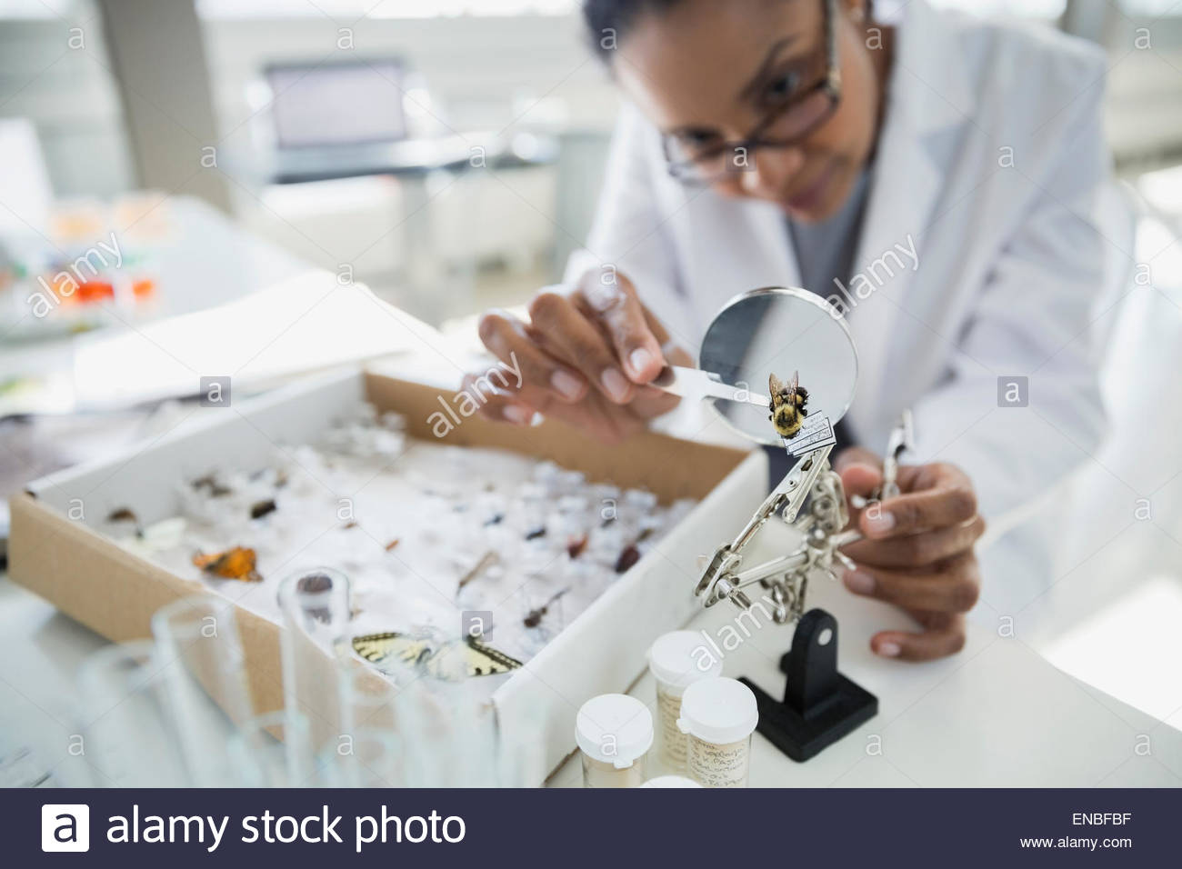Scientist examining insect specimen under microscope - Stock Image