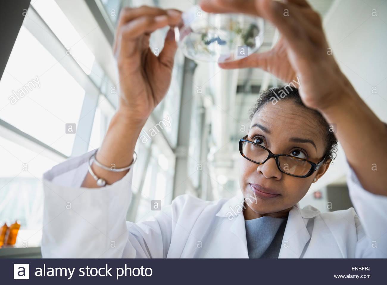 Scientist examining petri dish - Stock Image