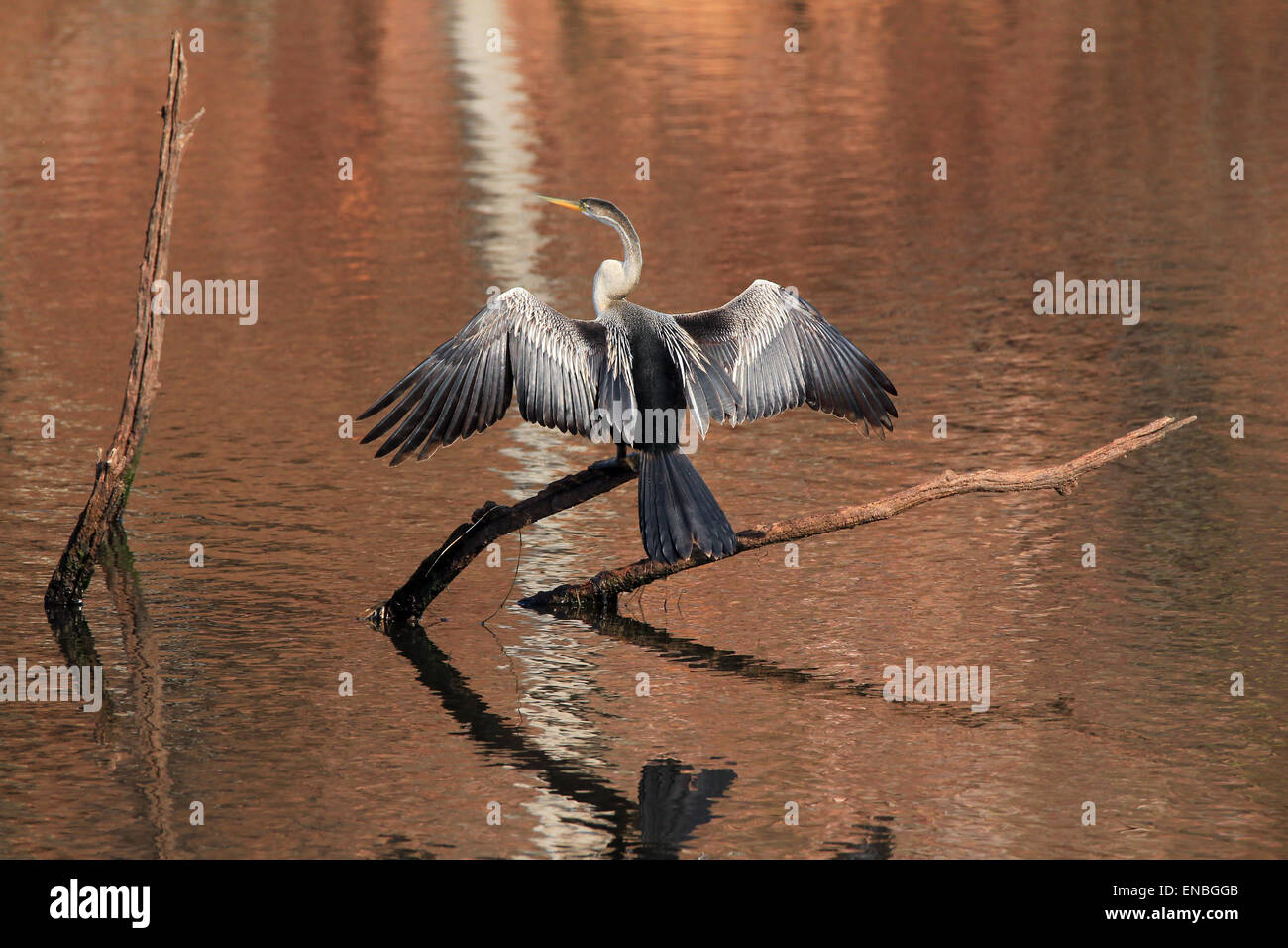 Oriental Darter (Anhinga Melanogaster, aka Indian Darter, Snakebird) Sitting on a Branch in a Lake, with Wings Held - Stock Image
