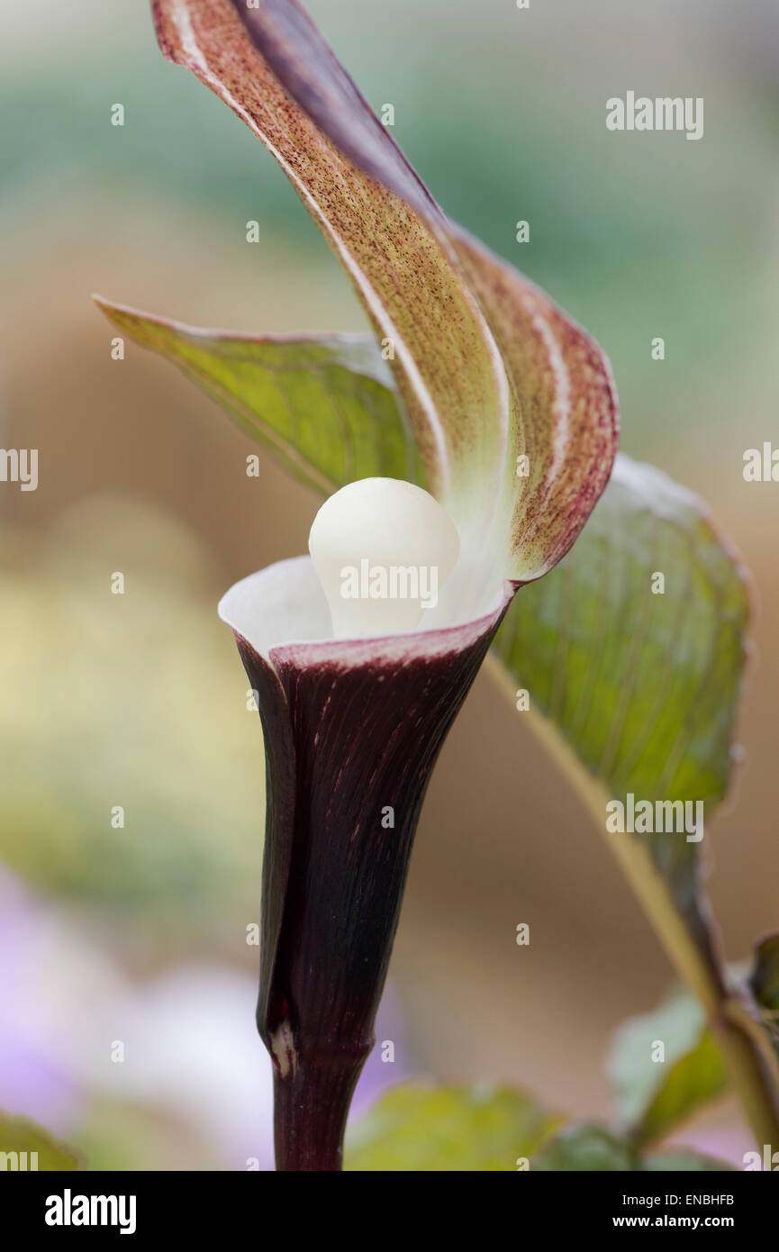 Arisaema Sikokianum. Japanese Jack in the Pulpit flowergrow Stock Photo