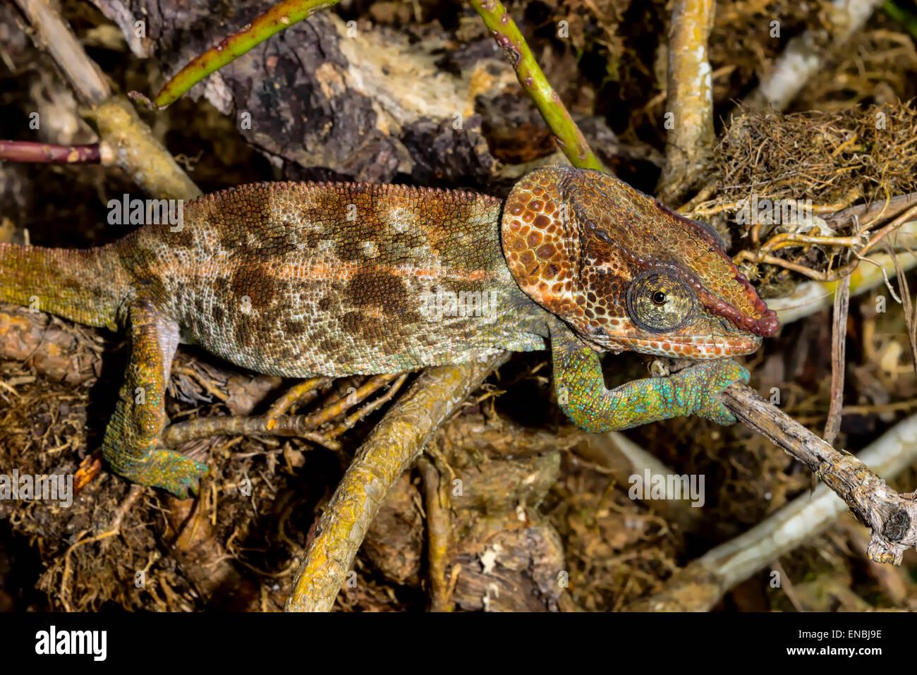 short-horned chameleon, marozevo, madagascar - Stock Image
