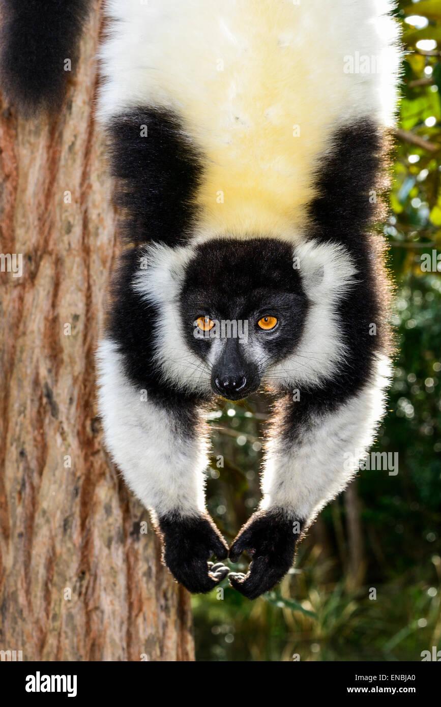 black-and-white ruffed lemur, lemur island, andasibe, madagascar - Stock Image