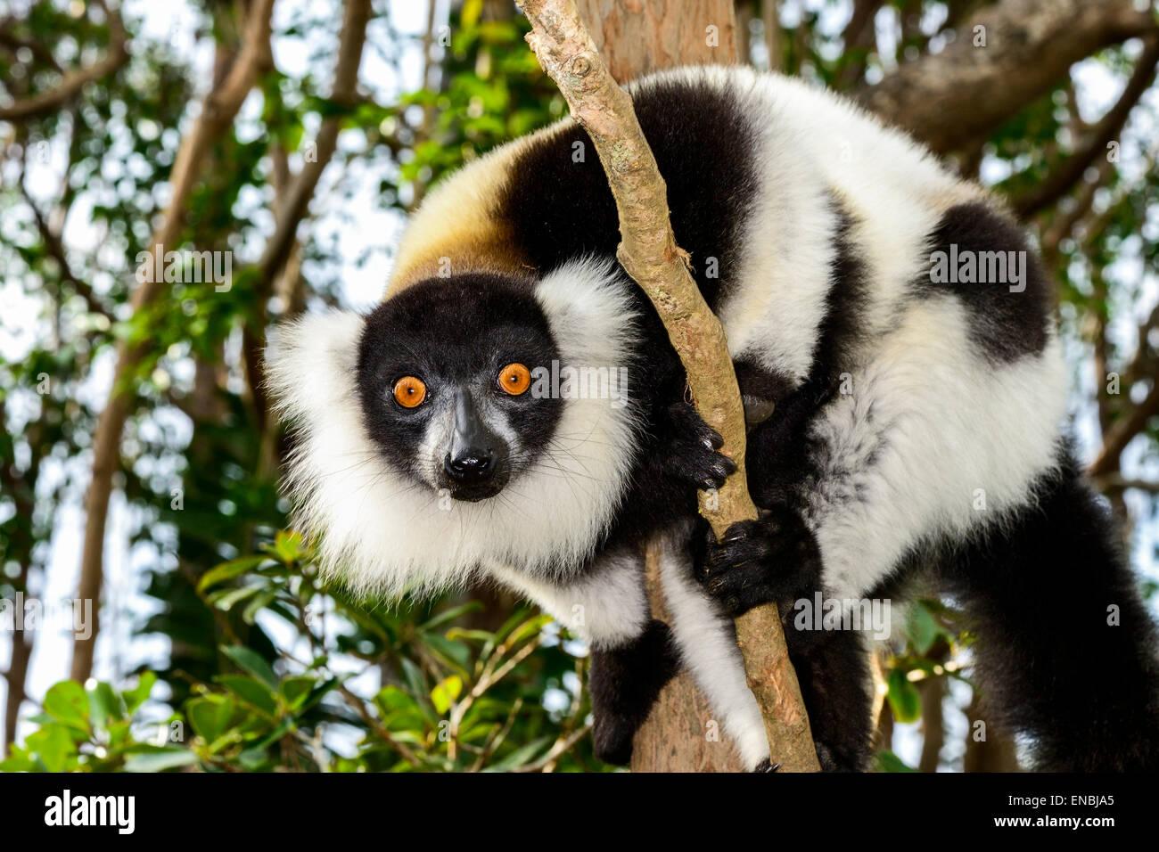 black-and-white ruffed lemur, lemur island, andasibe, madagascar Stock Photo