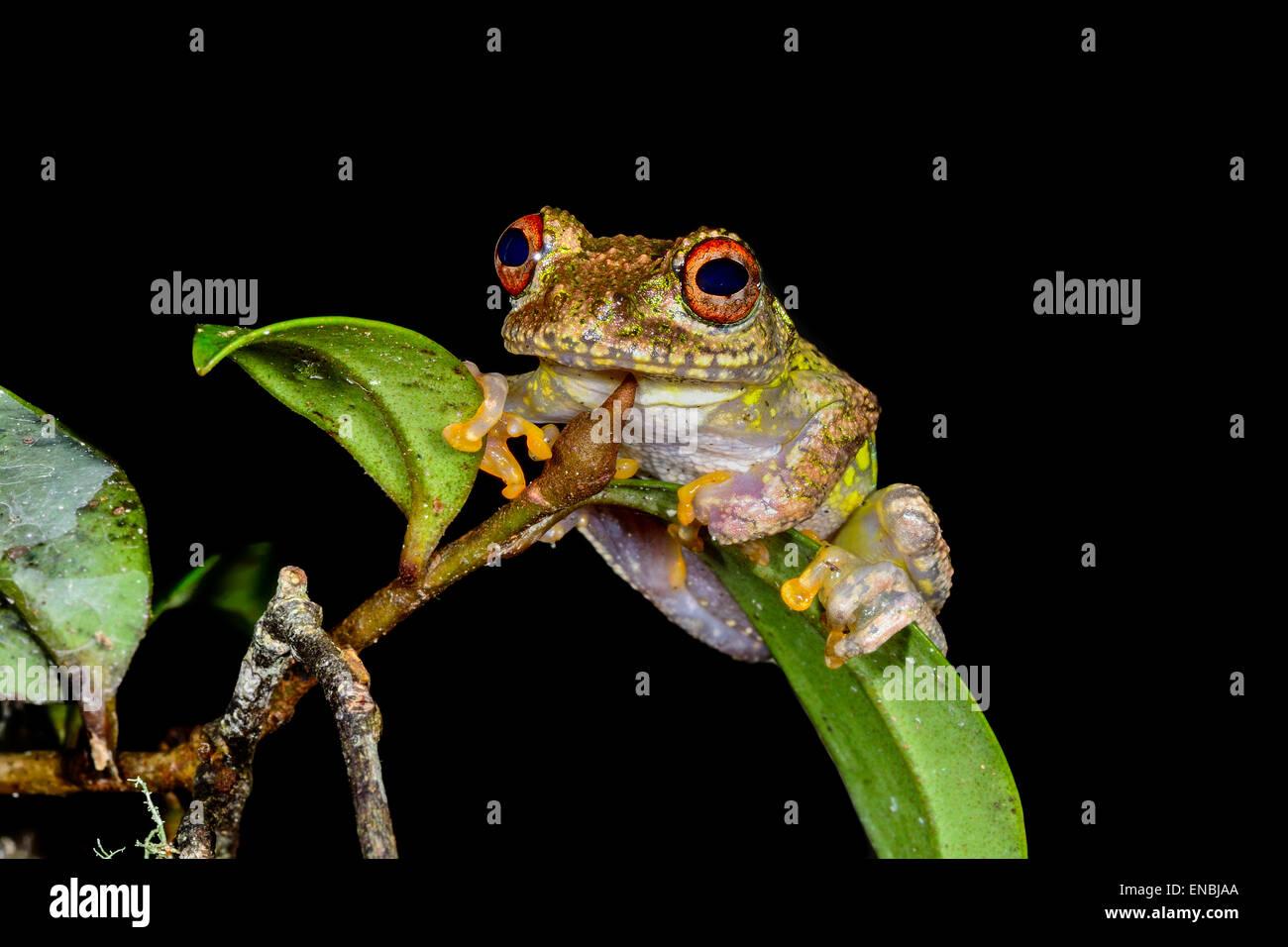 guibe's warty treefrog, andasibe, madagascar - Stock Image