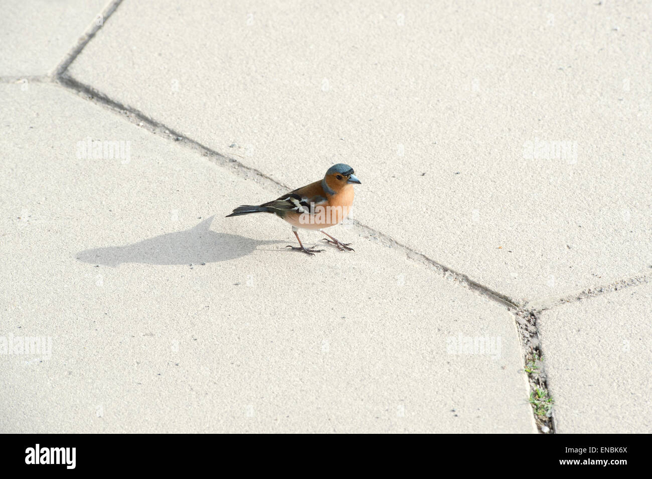Fringilla Coelebs, Male chaffinch with shadow on a sun lit garden path. UK - Stock Image