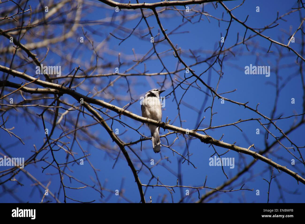 Blue jay sitting ob a tree branch, early spring. Stock Photo