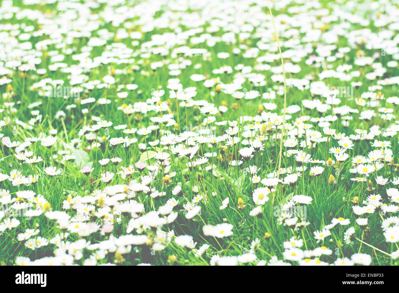 Lots of tiny white flowers blooming in the grass stock photo lots of tiny white flowers blooming in the grass mightylinksfo