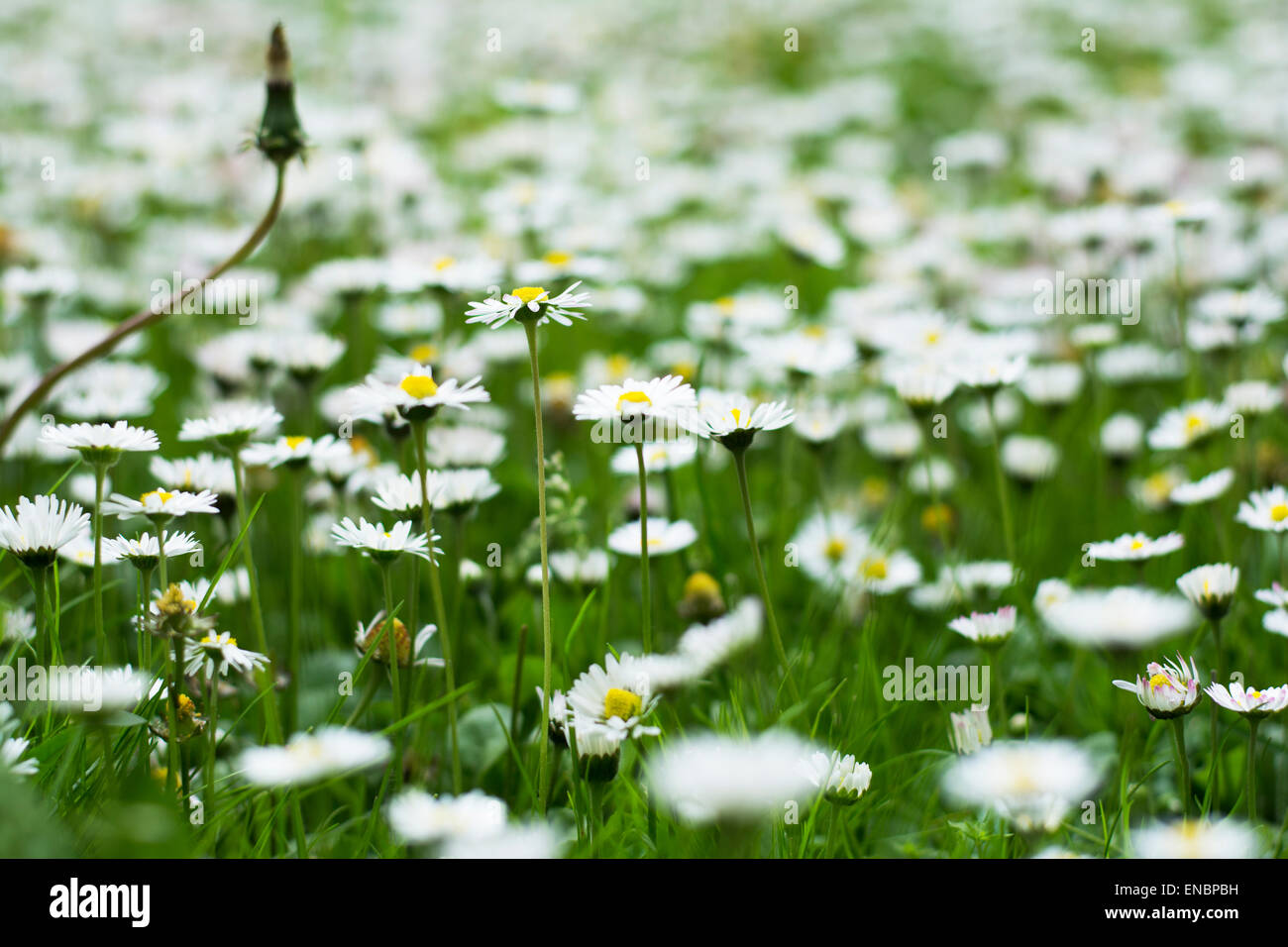 Lots Of Tiny White Flowers Blooming In The Grass Stock Photo