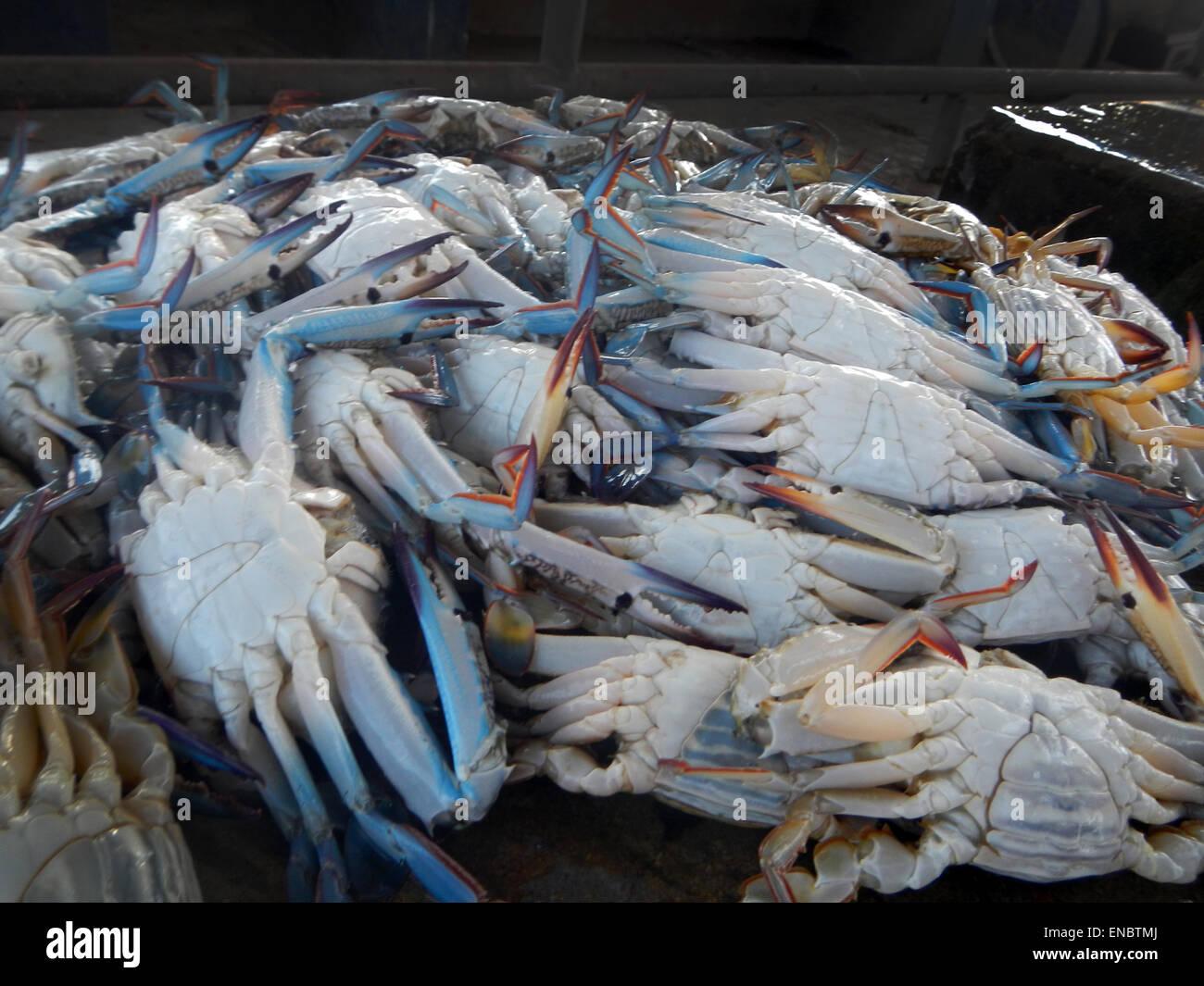 Asian Blue Swimming Crab, fish market, Negombo, Sri Lanka  (Portunus pelagicus) - Stock Image