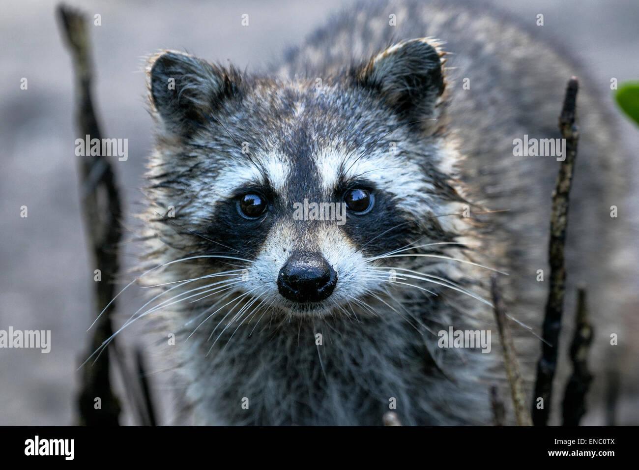 procyon lotor, raccoon - Stock Image
