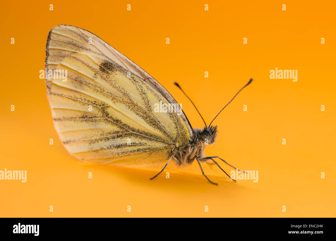 Green-veined white butterfly, Pieris napi, in front of an orange background - Stock Image