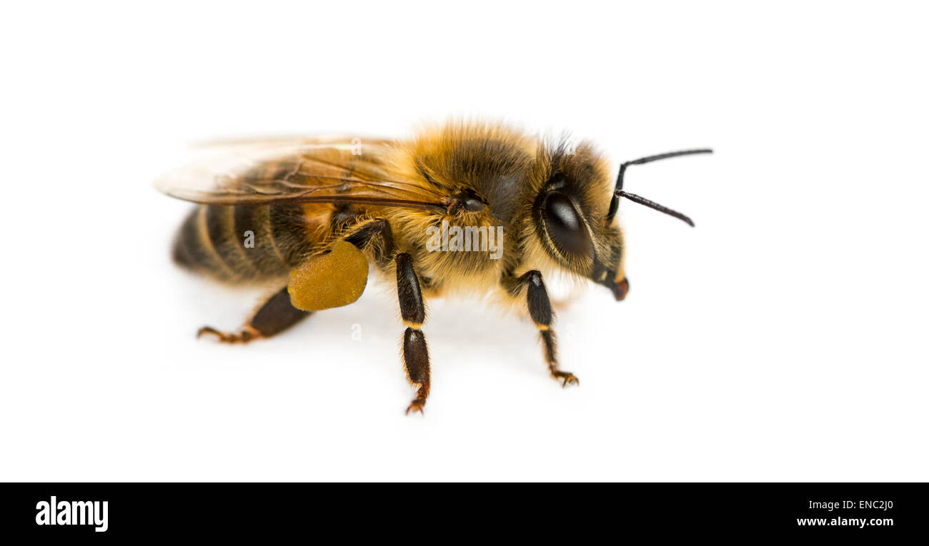 Honey bee, Apis mellifera, in front of a white background - Stock Image