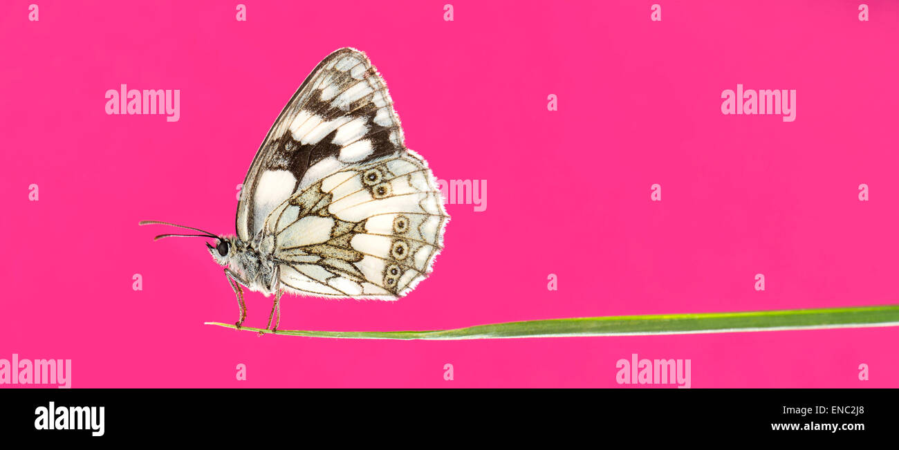 Marbled white butterfly, Melanargia galathea, on a blade of grass in front of a pink background - Stock Image