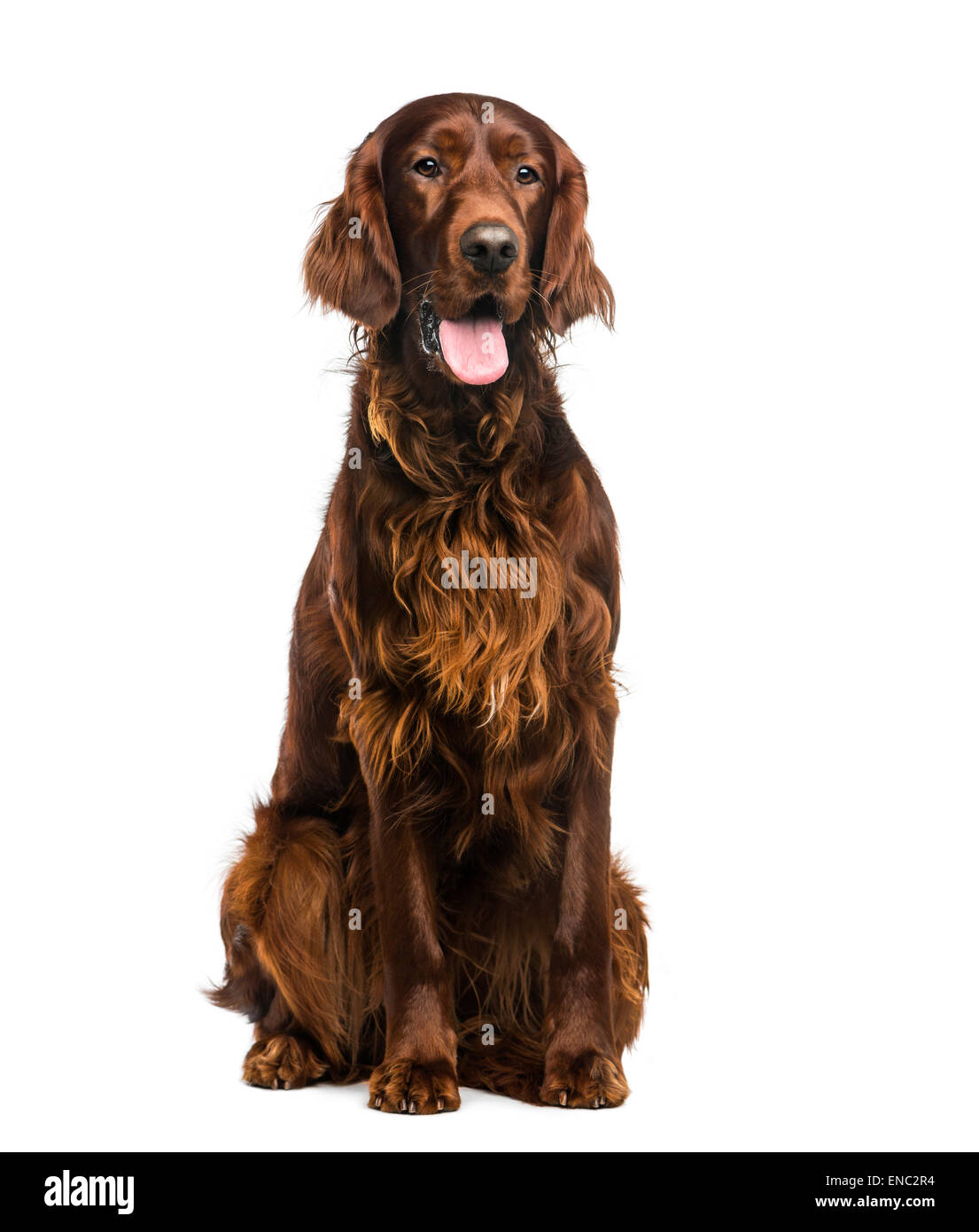 Irish Setter (2 years old) in front of a white background Stock Photo