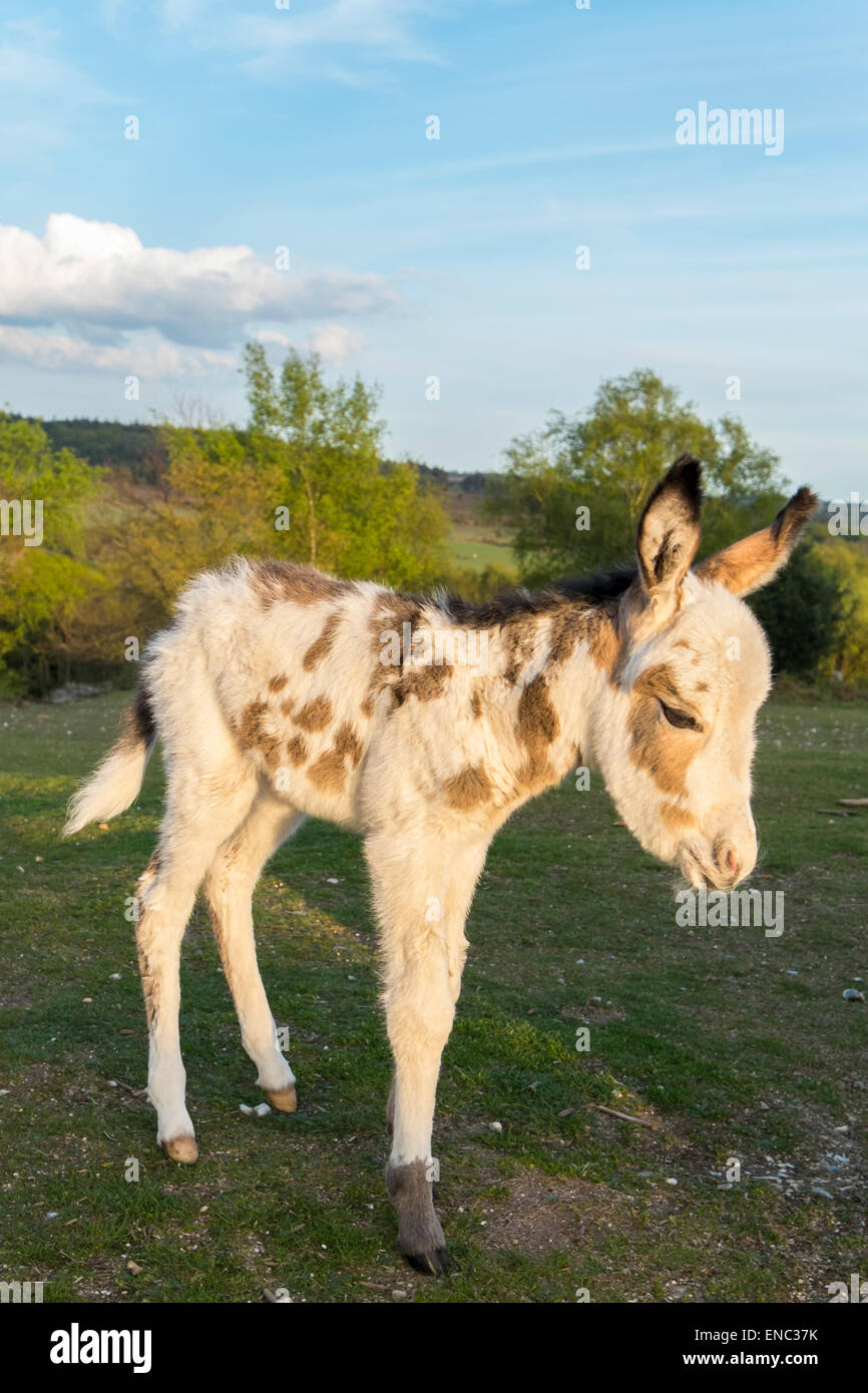 The joys of spring a new born donkey about a day old born in the national park New Forest Hampshire united kingdom - Stock Image