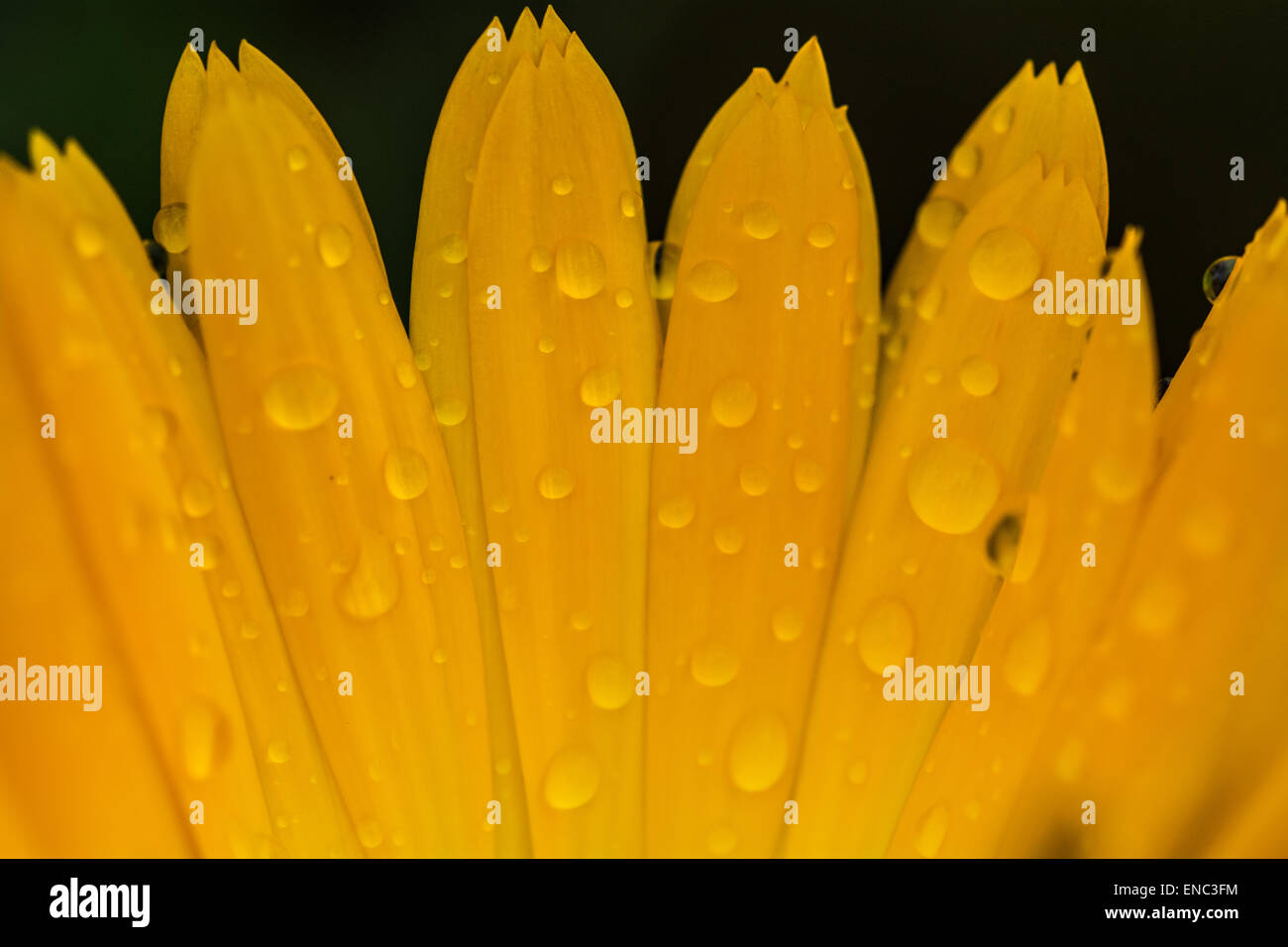 Close up shot of petals of a calendula flower with water droplets on - Stock Image