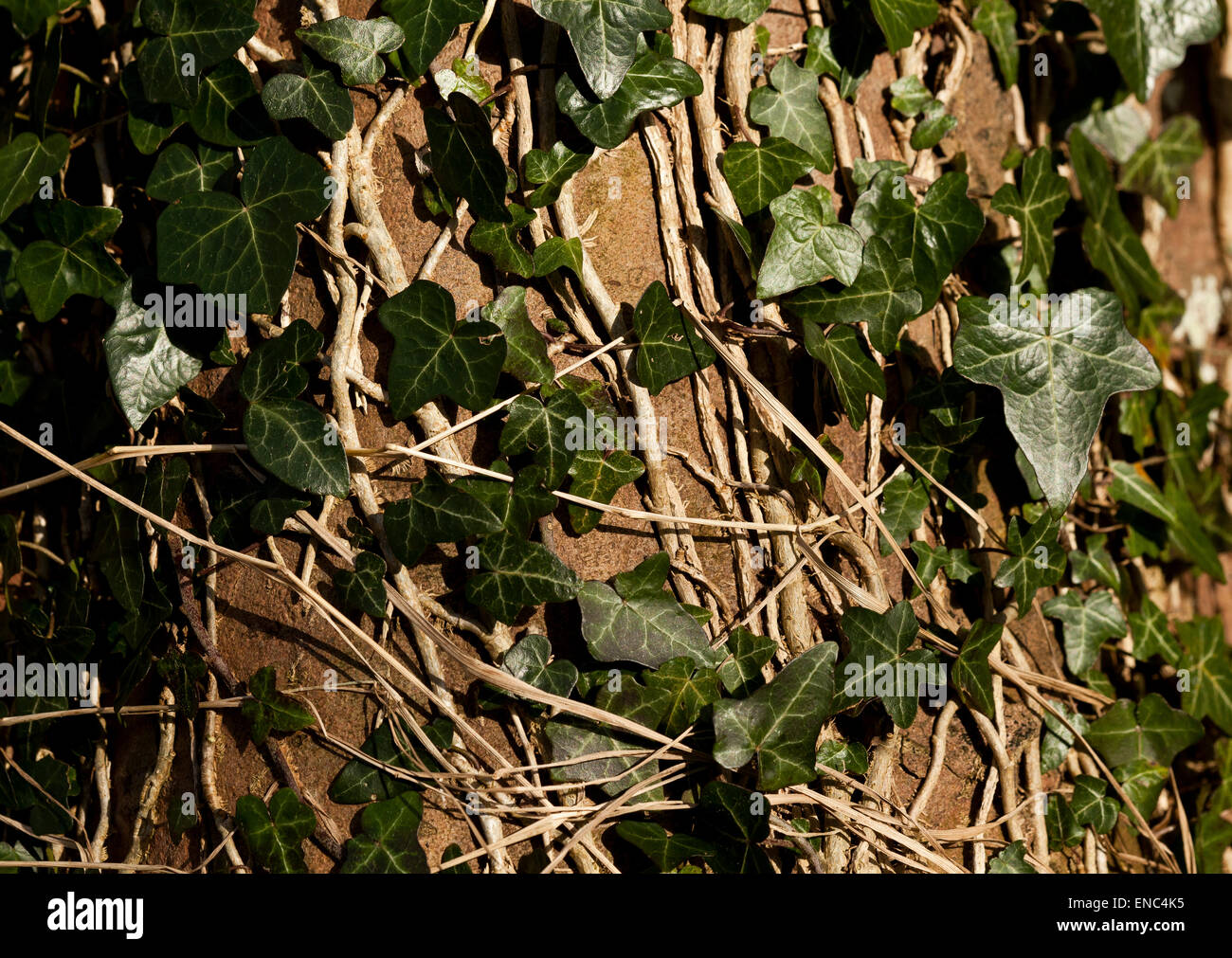 Ivy stems and leaves growing on a tree trunk - Stock Image