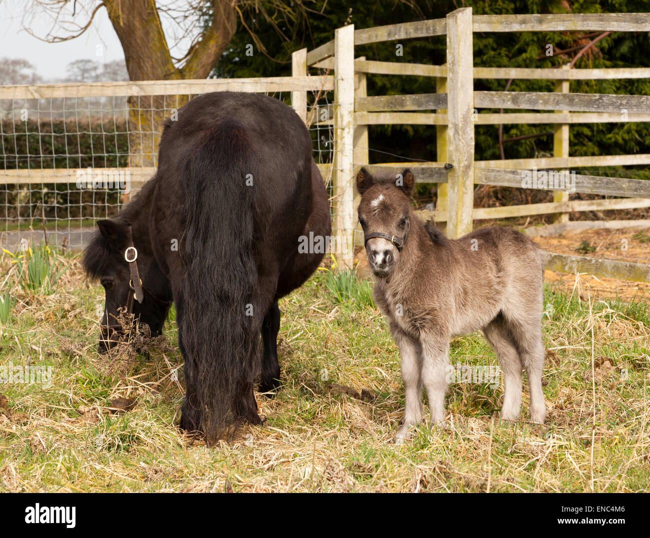 A Shetland Pony mare and foal Stock Photo