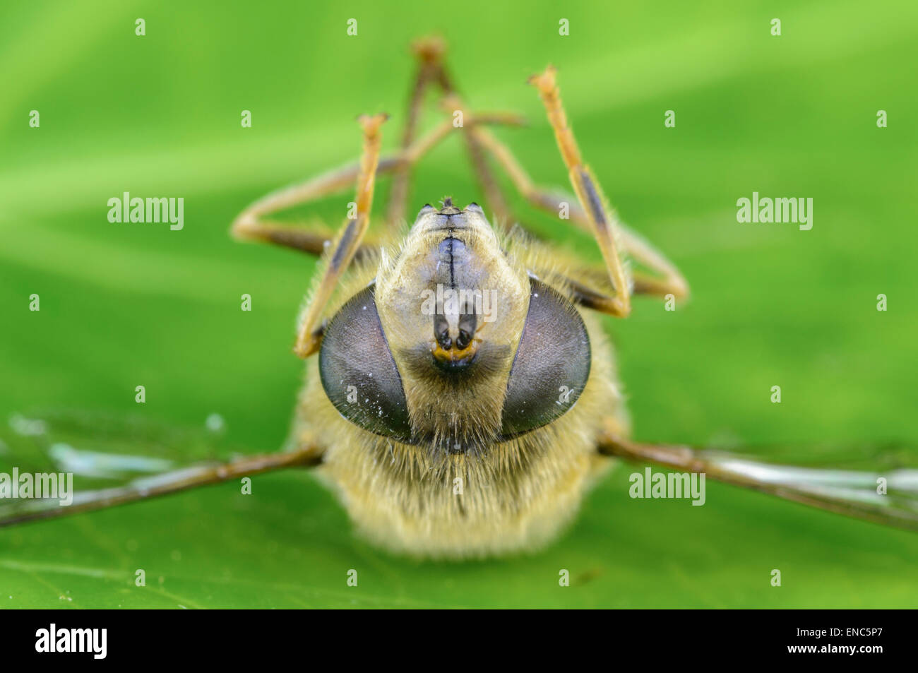 Front view of a dead Hoverfly (probably Myathropa Florea) laying on it's back in West Sussex, England, UK. - Stock Image