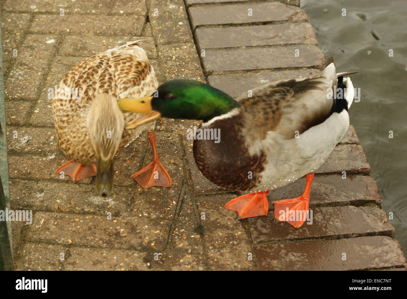 Male And Female Mallard Ducks The Suddenly Lashes Out At For No Good Reason London