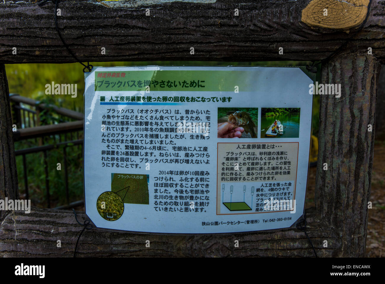 Countermeasure against increasing of alien species large mouth bass.Sayama Nature park,Higashiyamato city,Tokyo,Japan - Stock Image