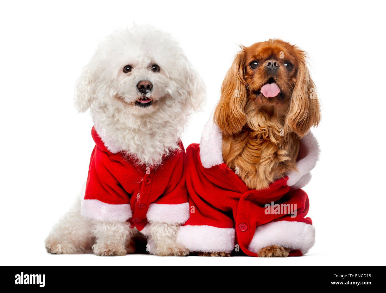 Maltese (4 years old), Cavalier King Charles Spaniel (2 years old) in front of a white background - Stock Image
