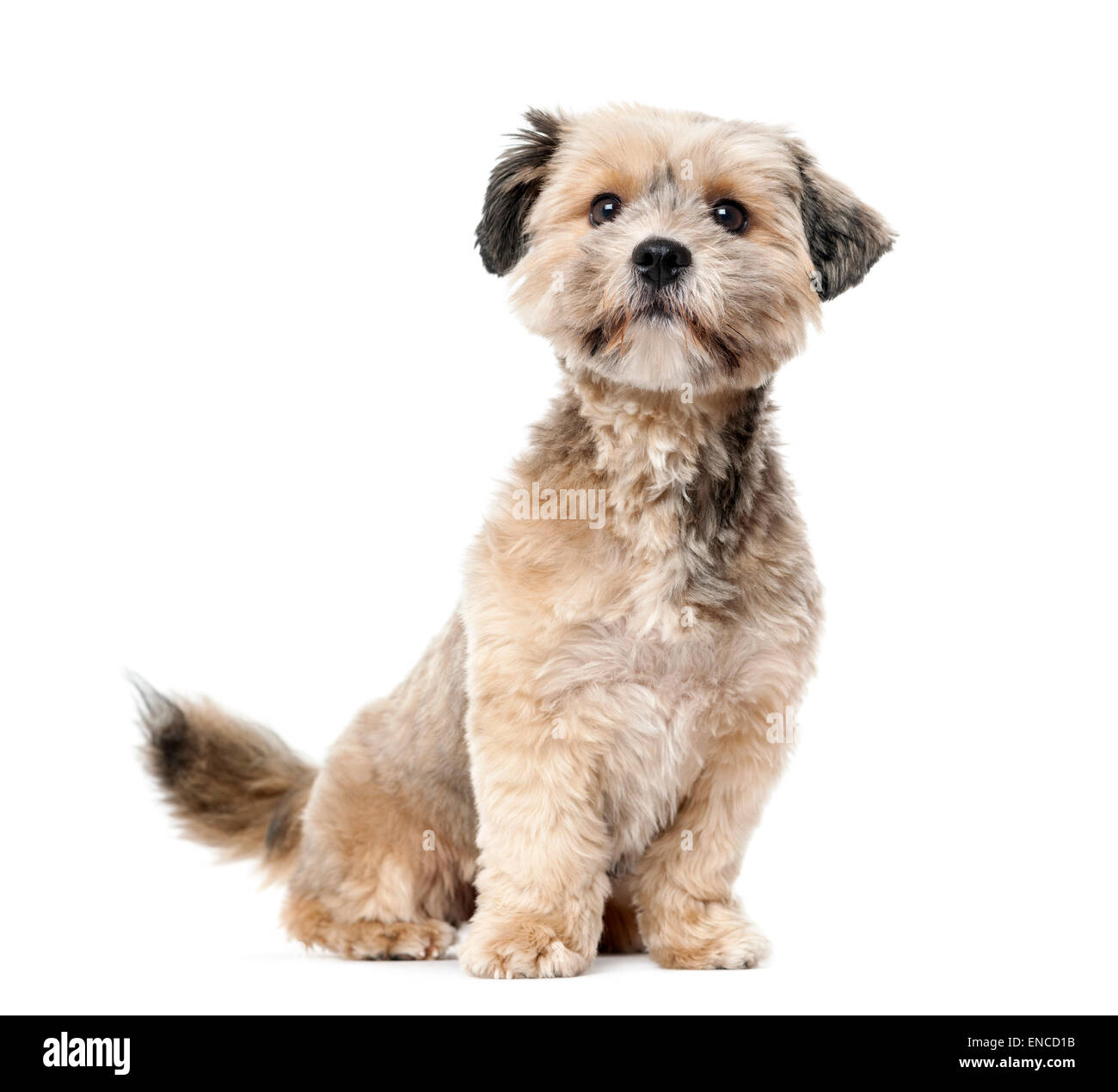 Crossbreed (1 year old) in front of a white background - Stock Image