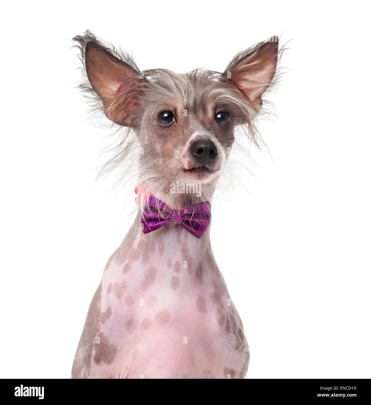 Chinese Crested Dog wearing a bow tie (8 months old) in front of a white background - Stock Image