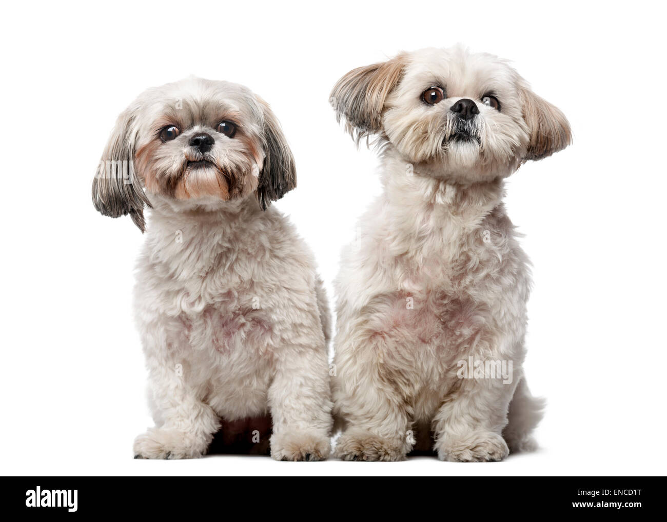 Two Shih Tzus in front of a white background - Stock Image