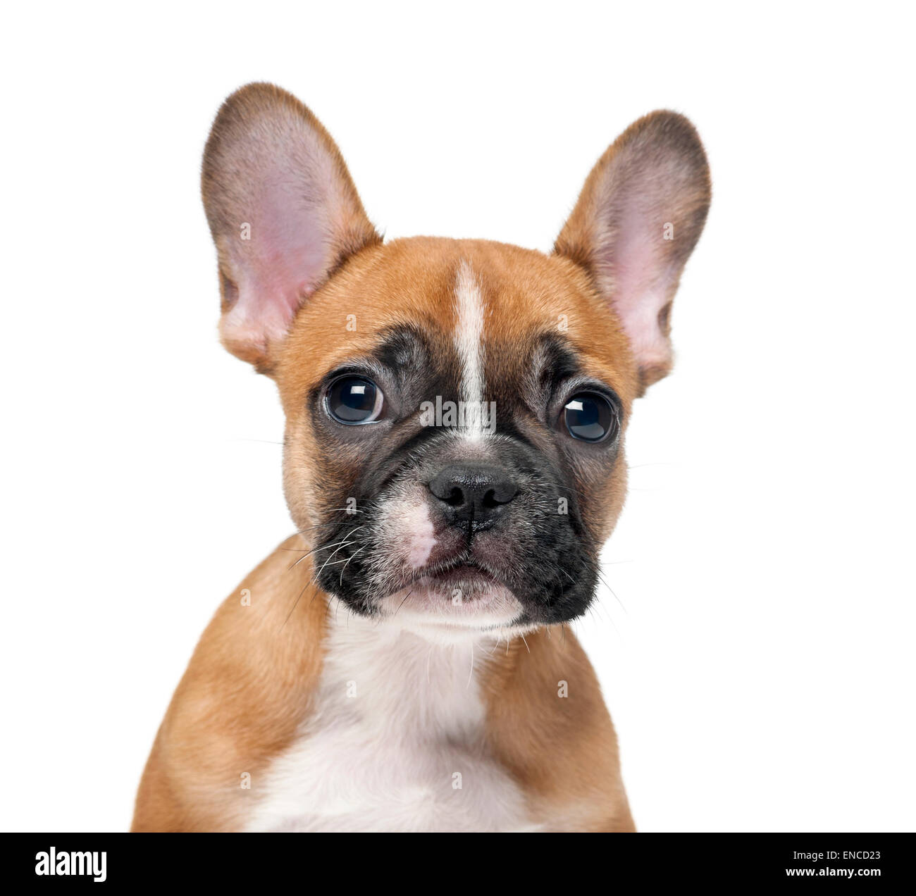 French bulldog puppy in front of a white background Stock Photo