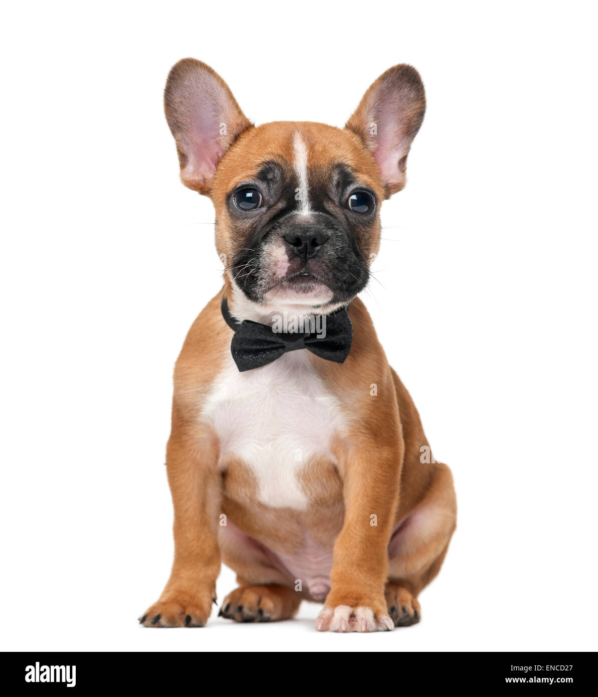 French bulldog puppy wearing a bow tie in front of a white background - Stock Image