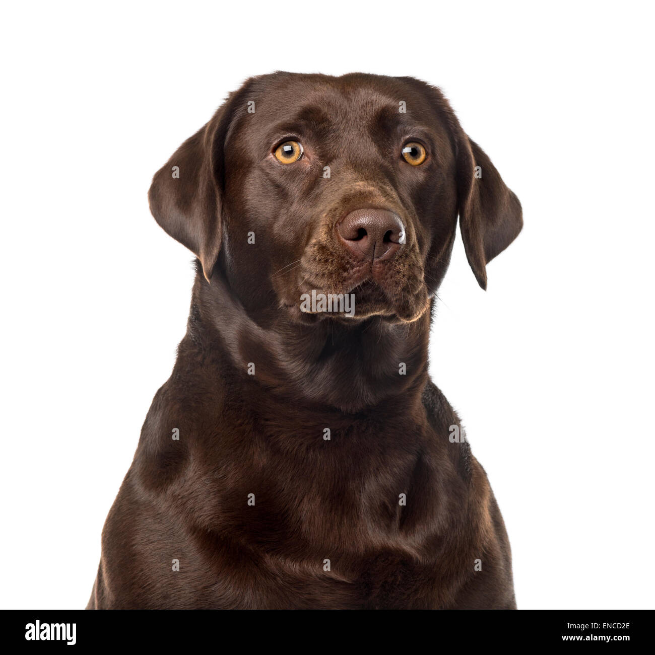 Labrador Retriever (2 years old) in front of a white background - Stock Image