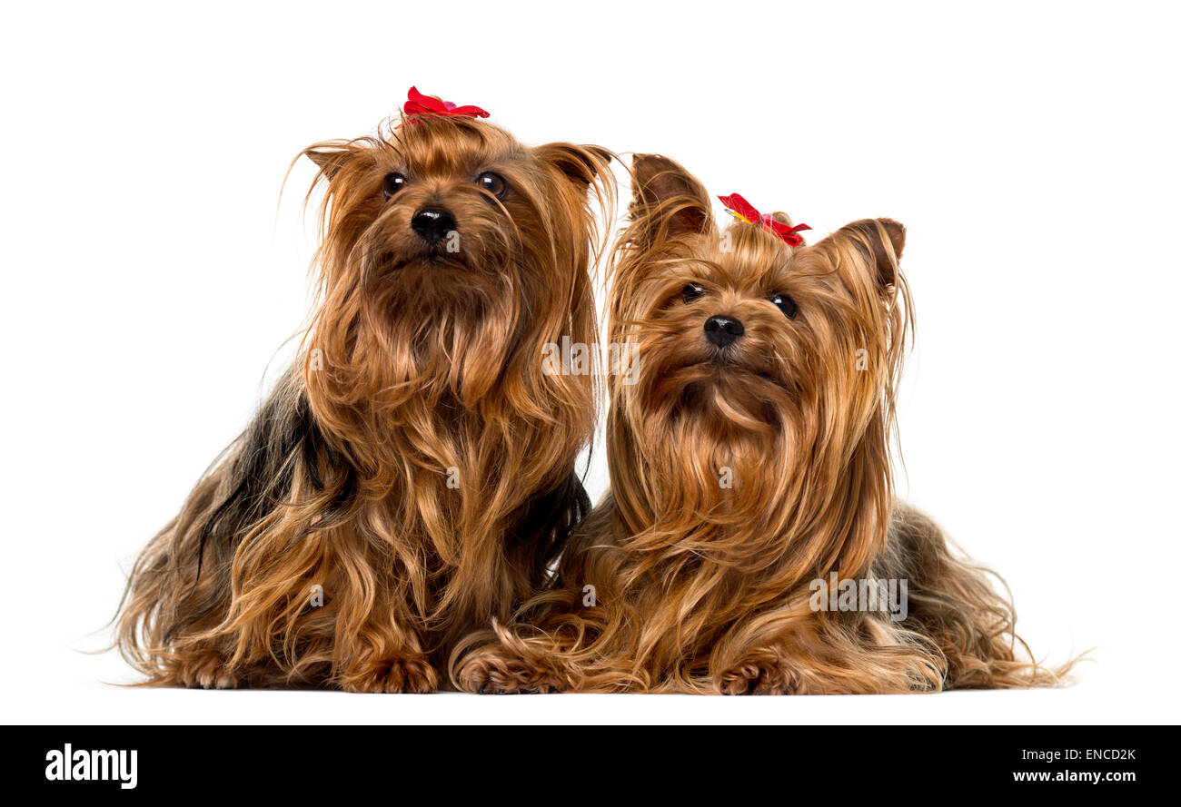 Two Yorkshire Terriers in front of a white background - Stock Image