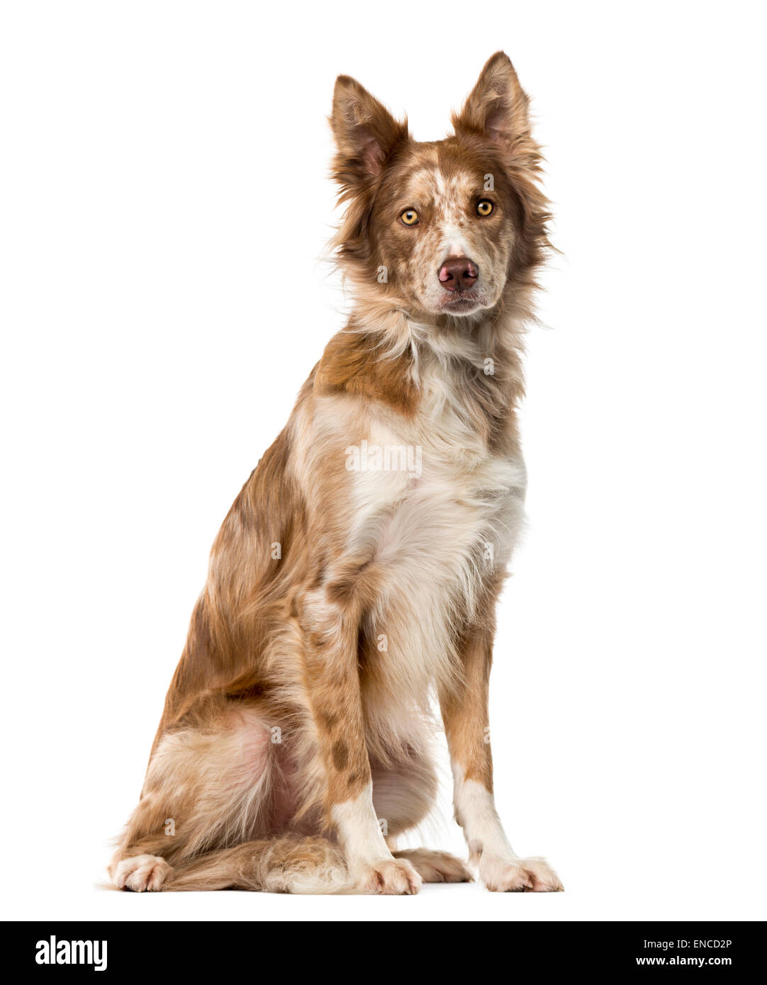 Border Collie (15 years old) in front of a white background - Stock Image