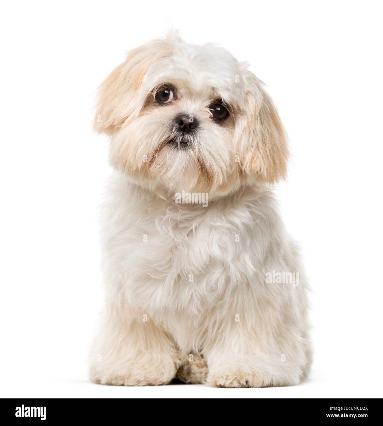Shih Tzu puppy (6 months old) in front of a white background - Stock Image