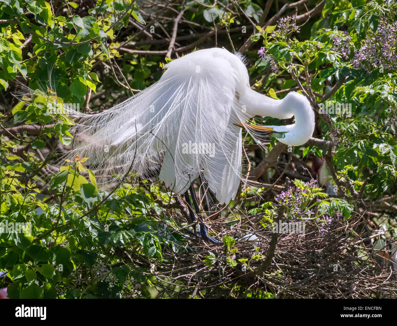Great egret (Ardea alba) in breeding plumage preening near the nest, High Island, Texas, USA. - Stock Image