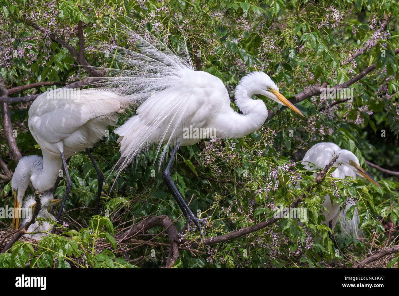 Great egret (Ardea alba) in breeding plumage near the nest at a rookery, High Island, Texas, USA. - Stock Image