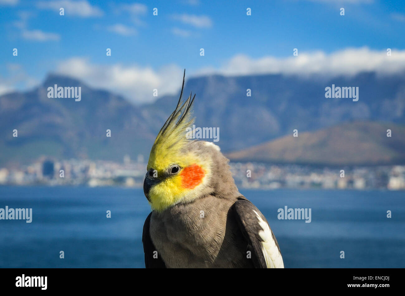 A cockatiel on a cargo ship leaving the port of Cape Town, South Africa, and Table mountain in the background - Stock Image
