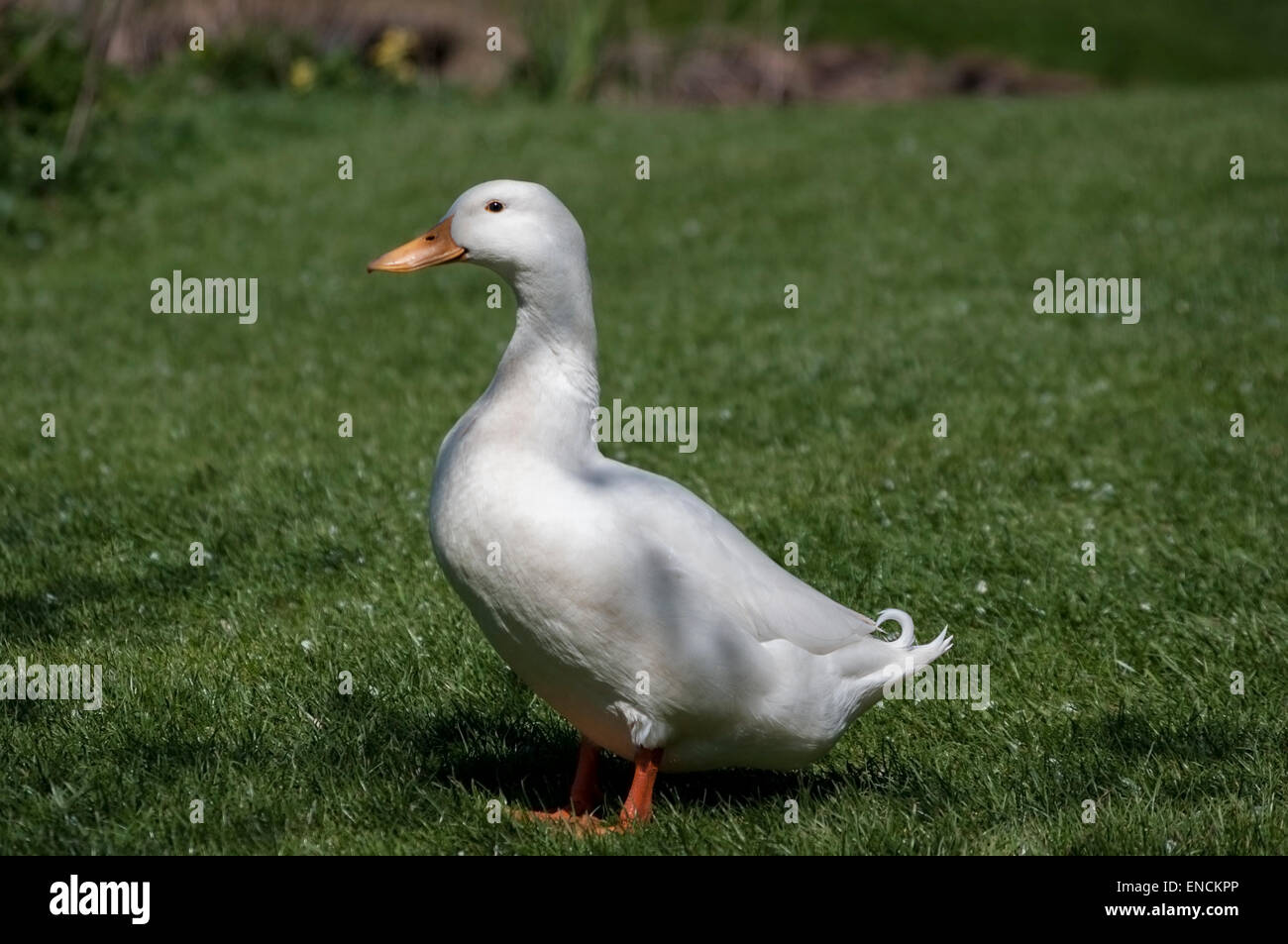 Single white Aylesbury duck on grass, side on but looking at camera. Space around for copy. - Stock Image