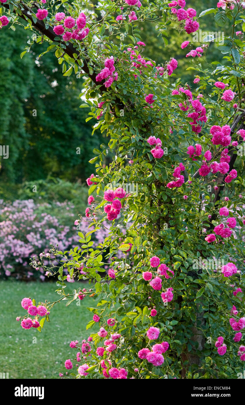 Rose Trellis with Rosa 'Bloomfield Courage' - Stock Image