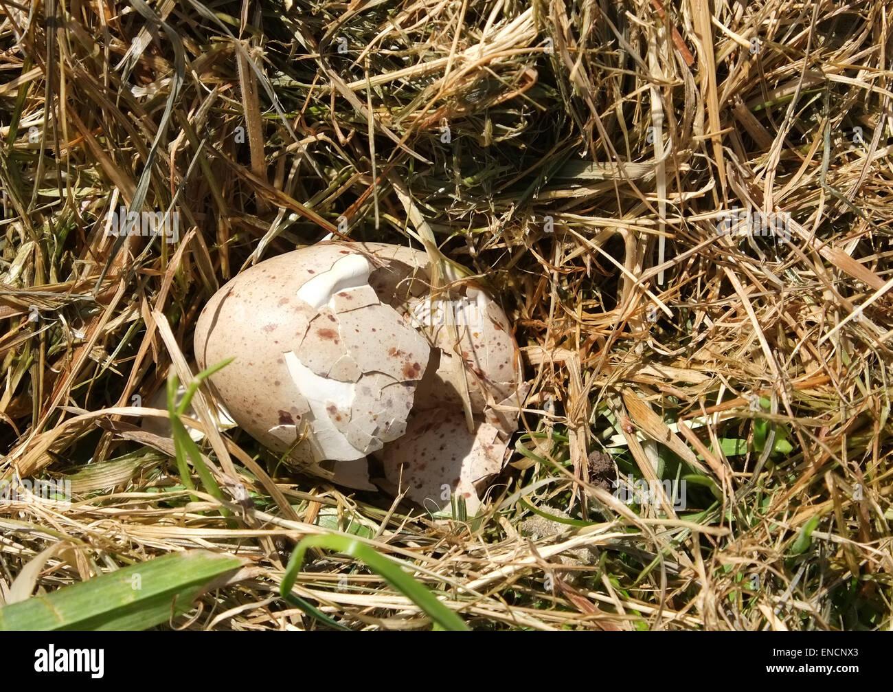 Broken birds egg in rural South Gloucestershire, 29th April 2015 - Stock Image