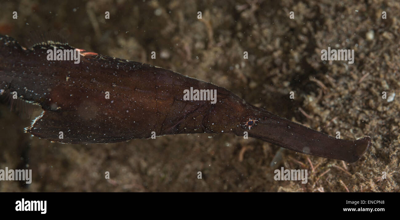 Robust ghost pipefish on the sea bottom - Stock Image
