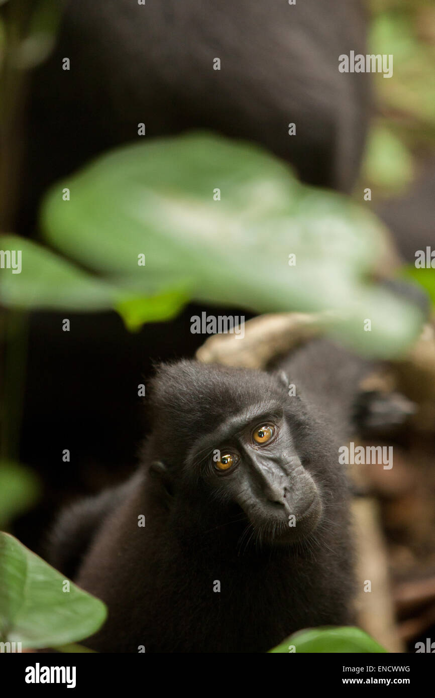 Celebes black-crested macaque. Portrait of juvenile. - Stock Image